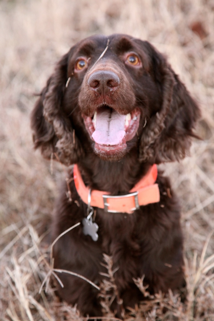 King Pyro  ~ Smile .South Carolina's Finest Boykin Spaniel
