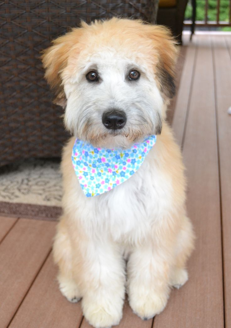 whoodle puppy (wheaten terrier and poodle mix)                              …