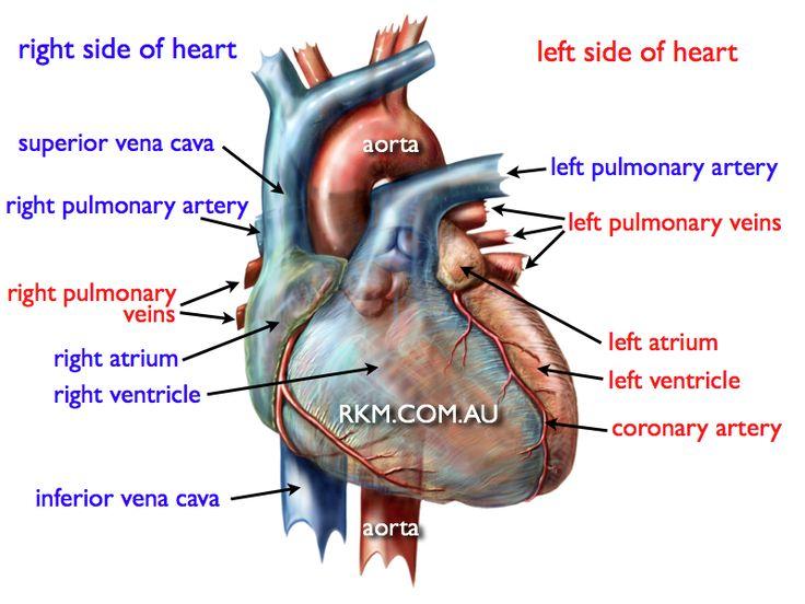 Heart anatomy diagram human heart diagram more heart anatomy diagram