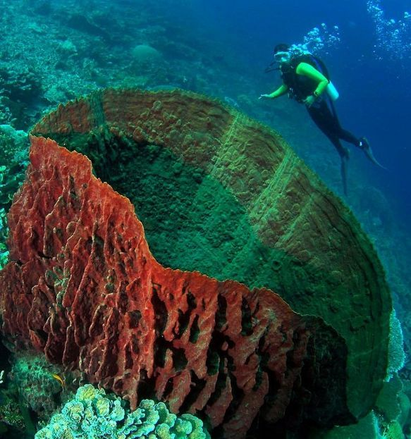 Click to see this amazing picture up close. The world's most remote dive resort is in Wakatobi, Indonesia. And around there is one of the world's largest barrel sponges discovered.