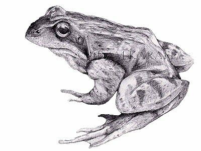 8 Best Images About Frogs On Pinterest Frogs Biology And Tag Online