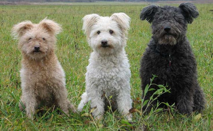 pumi dog photo | Pumi ( Hungarian Pumi ) - Information, pictures and videos | DBS