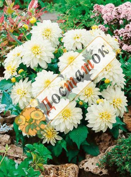 ГЕОРГИНА Gallery Art Fair  Низкорослые георгины – могут иметь разное строение соцветий и относиться к разным группам георгин (бордюрные георгины, балконные георгины, галлери георгины, топмикс георгины и т.д.) . Но у них есть одно общее свойство – необычайная популярность в последнее время. Низкорослые георгины - небольшие растения, сплошь покрытые соцветиями, отлично служат передним краем бордюра, а также в качестве контейнерных посадок для украшения террас, балконов и веранд.