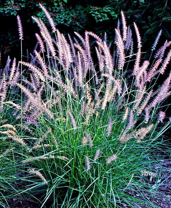 PURPLE FOUNTAIN GRASS  Pennisetum setaceum 'Rubrum'  by VikkiVines