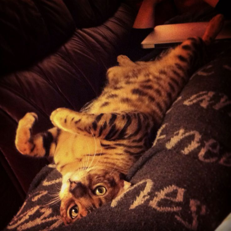 Ailo my bengal cat. He really want to cuddle :)