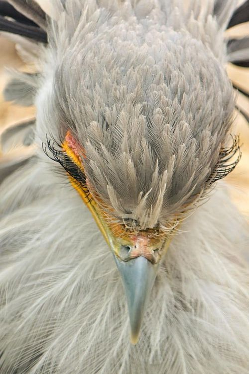 Beautiful eyelashes on a Secretary Bird!