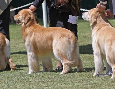 Best Golden Retriever Images On Pinterest Adorable Animals - Golden retriever obedience competition fail