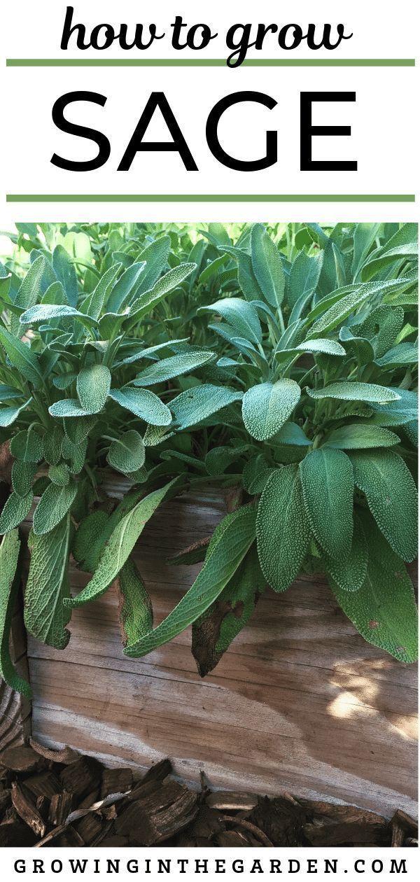 How To Grow Sage Tips For Growing Sage Backyard Vegetable