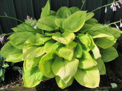 Hosta, Sum and Substance liner... Plant with Bleeding Hearts