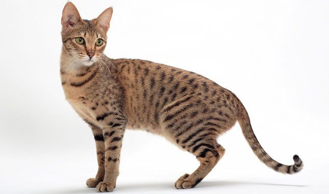 Savannah cats are the offspring of a domestic cat and a serval — a medium-sized, large-eared wild African cat.