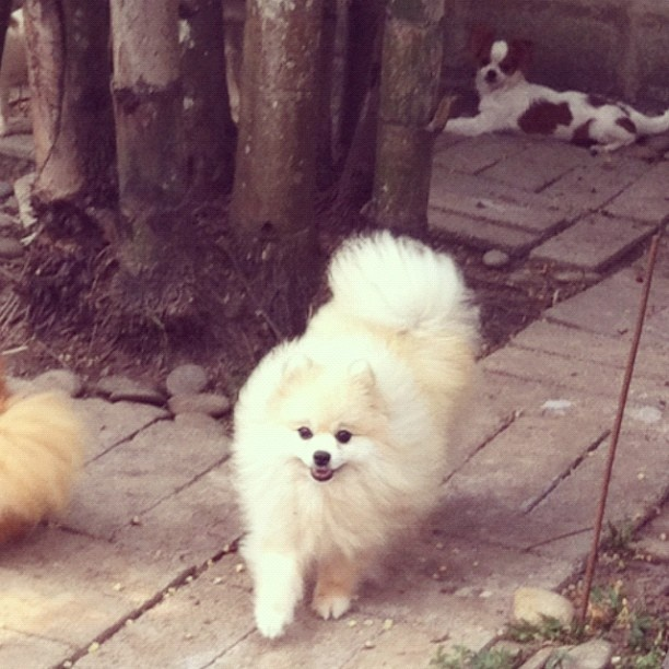 panda pomeranian 21 best images about pomeranium dogs are royalty on 7472