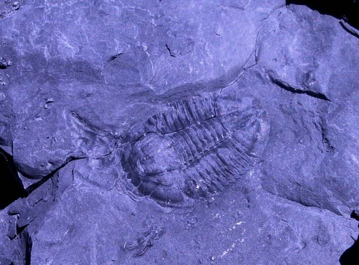 """New Dig"" Trilobite Quarry, House Range, Utah: Fossil, House Range"