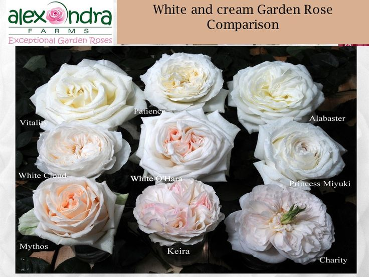courtesy of our partners and growers of exceptional garden roses alexandra farms this wedding garden rose guide includes photos of every variety including