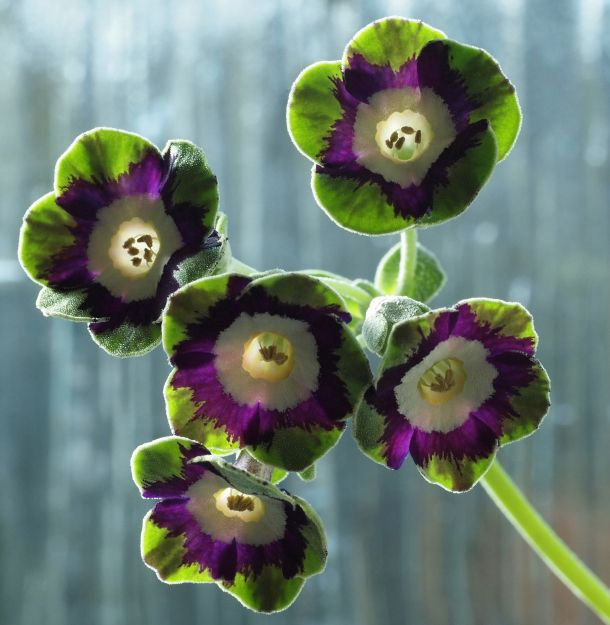 Primula Auricula - Helen Barter - Photograph by Richard Duffy-Howard