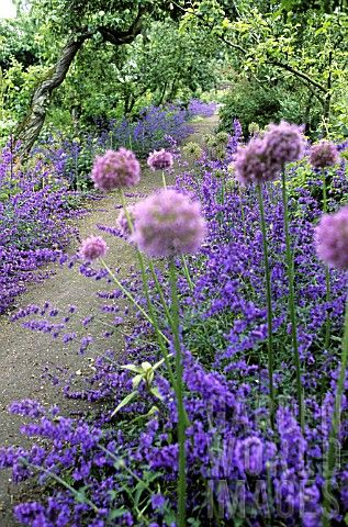 NEPETA_X_FAASSENII_CATMINT__ALLIUM_GROWING_IN_BORDERS_ALONG_PATHWAY_
