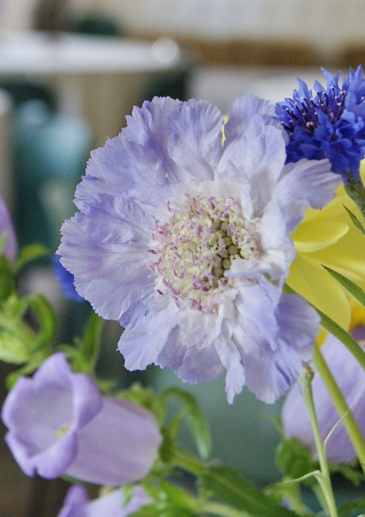 Florissimo - Flowers for weddings and events in Shropshire. SCABIOUS, JUN-OCT. From Florissimo Flower Directory at https://uk.pinterest.com/ByFlorissimo/flower-directory/ | White, pale purple and deep red