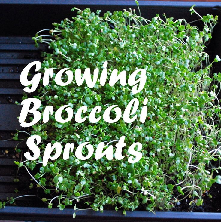 how to grow sprouting seeds