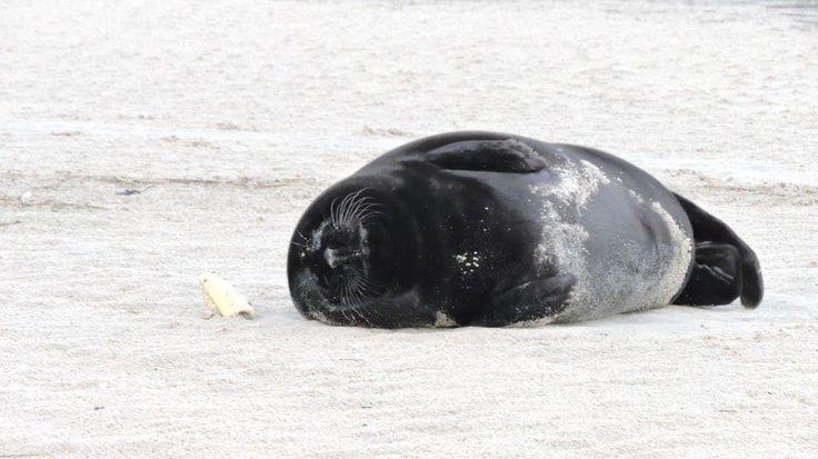 Close-up van zwarte zeehond