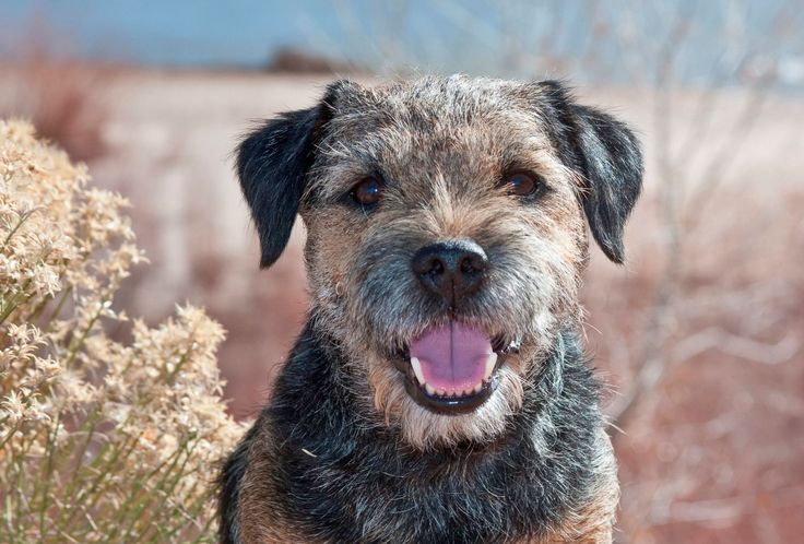 The most expensive dog breeds to insure -Border Terrier next cheapest to insure after Jack Russell Terrier.