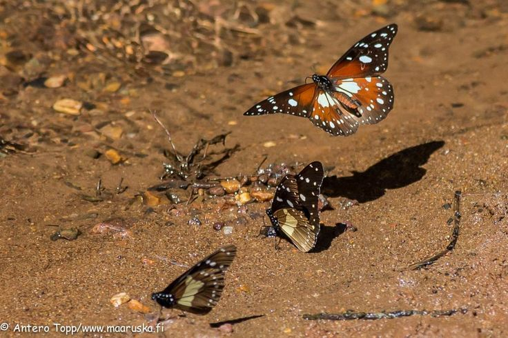 Butterflies by Antero Topp