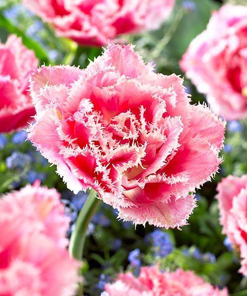 Třepenité tulipány ´Queensland´. Queensland je královna všech tulipánů. Růžovobílé, třepenité okraje jsou zosobněním rozkvetlého jara. Výborně se hodí i pro pěstování v květináčích a okenních truhlících. Vyžadují: slunce - polostín. Doba kvetení: duben - květen. Výška: asi 30 cm. K řezu.