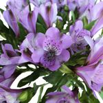 Find Lavender flowers at FiftyFlowers! With a soft and graceful pastel tone, Lavender brings a sweetness and bright virtue to any bridal look. Pair it with Hot and Blush Pinks and True Purple to create a gorgeous ombre spectrum of colors, or have a more spontaneous and original look with Lime Greens and True Yellows.
