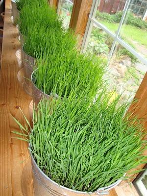 DIY Bucket O' Grass {for indoors or outdoors} // Liquid Sunshine by  maya*made: