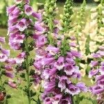 Should You Deadhead Foxgloves: Tips On Deadheading Foxglove Plants