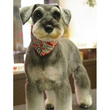 Mini Schnauzer haircut, this little mini looks like Jasper but if it isn't little Jasper it sure looks like him