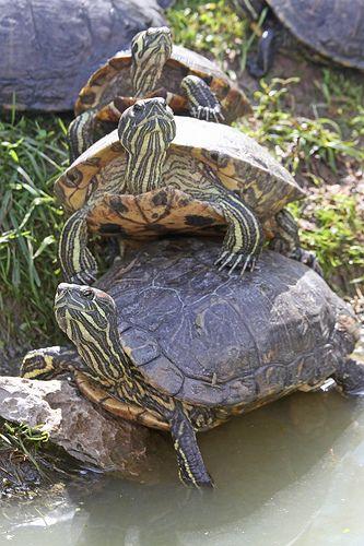Les 25 meilleures id es concernant tortue de floride sur pinterest r servoirs de tortues - Bassin tortue floride strasbourg ...