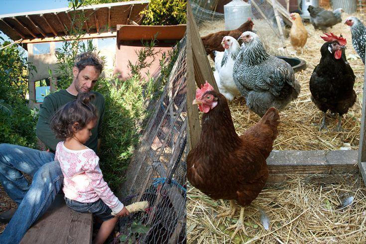 Raising Urban Backyard Chickens :  Urban Farming on Pinterest  Homesteads, Backyards and Raising
