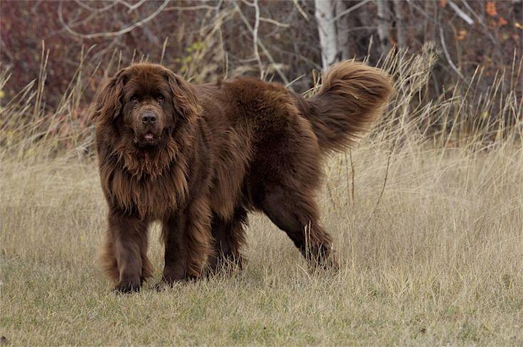 newfoundlands   Bellatrix was our Brown Newfoundland dog.