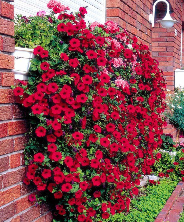 Hängepetunie Wave® 'Fortunia Red' - Saat Petunia pendula Fortunia® + Wave® Series