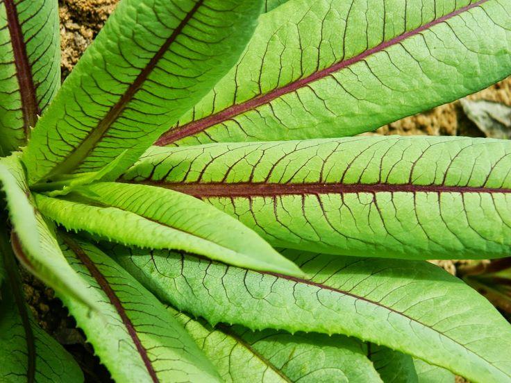 .: Lactuca canadensis - Almeirão-Japonês, Roxo, de Árvore