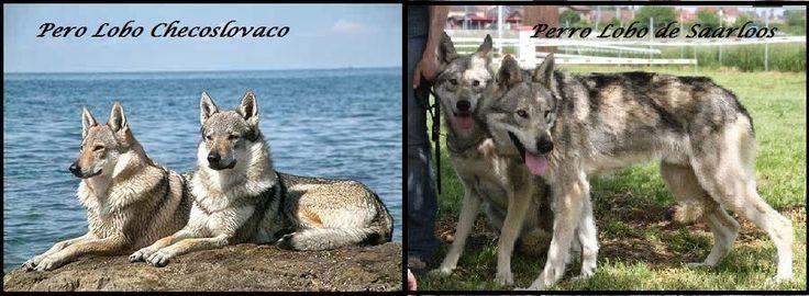 Diferencia entre el perro lobo de Saarloos y el perro lobo ...