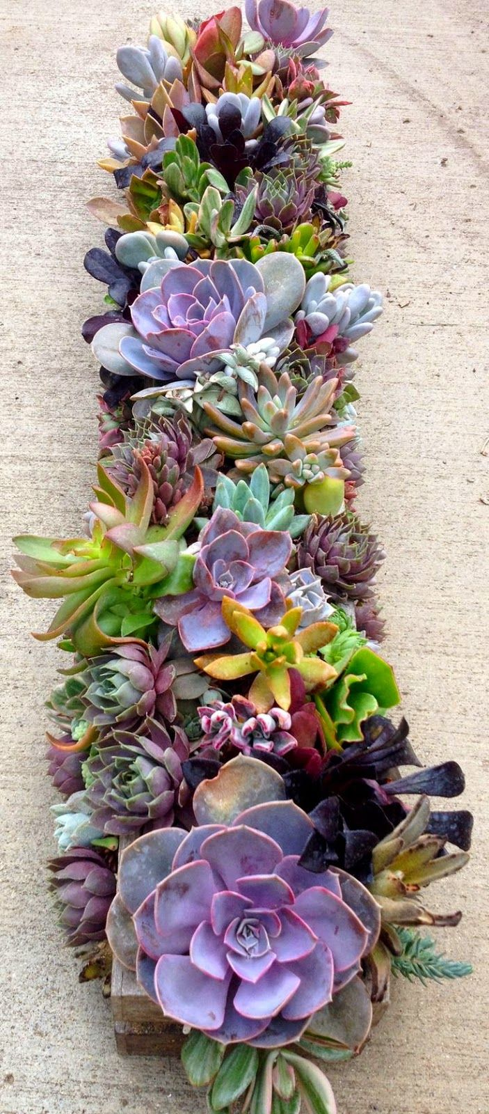 These succulents provide a multitude of variety through the different colours, shapes, sizes, and textures.