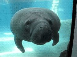 "Manatee discovers the invisible forcefield known as ""glass"" -- The 28 Tiniest Boops Of All Time"