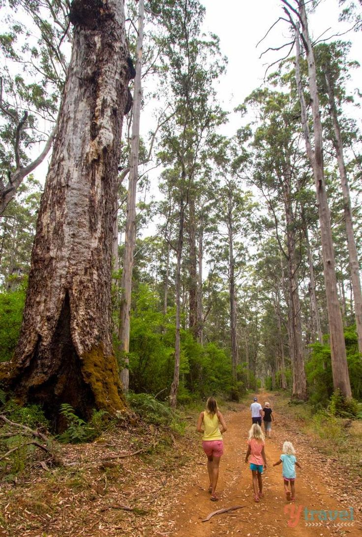 Discovering the Karri Forest in Pemberton in Western Australia.