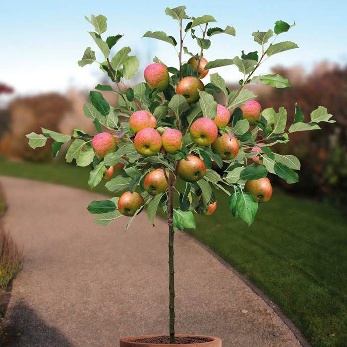 Growing Apple Trees in Pots | How to Grow apple tree in a Container