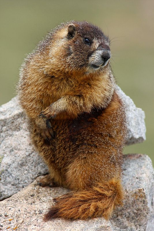 ☀Yellowbelly Marmot by Peter Eades*------ we have these little guys here, they're sooo cute!