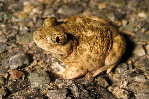 Turtles, snakes, lizards, salamanders, and toads—such as this western spadefoot toad—can't speak up for themselves, so the Center for Biological Diversity is. The nonprofit conservation group on Tuesday announced its plan to sue the U.S. Fish and Wildlife Service for failing to protect 16 rare …