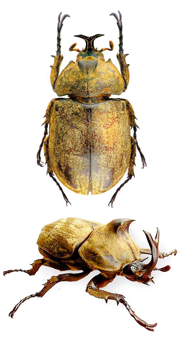 Allomyrina pfeifferi