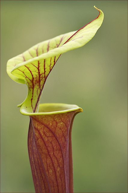 Carnivorous--Sarracenia Pitcher Plant  www.perugiaflowershow.com
