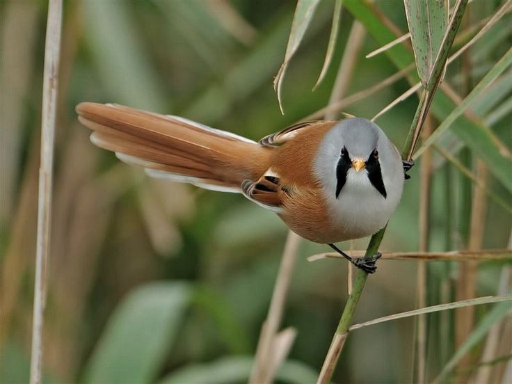 A bearded reedling, as found at RSPB Titchwell Marsh Nature Reserve on AboutBritain.com    http://www.aboutbritain.com/RSPBTitchwellMarsh.htm