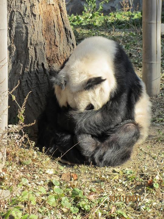 A very shy panda in Beijing Zoo