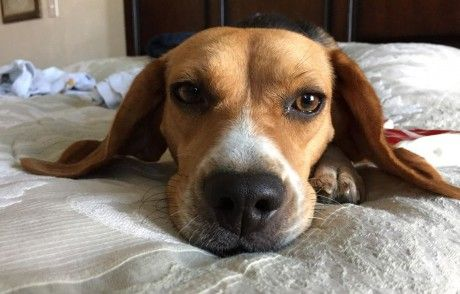 Rescued Beagle Writes an Open Letter to Companies That Test on Animals