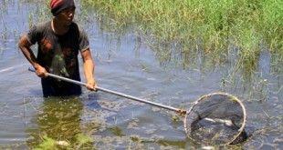 Bakri sedang memberihkan sisa ikan yang mati