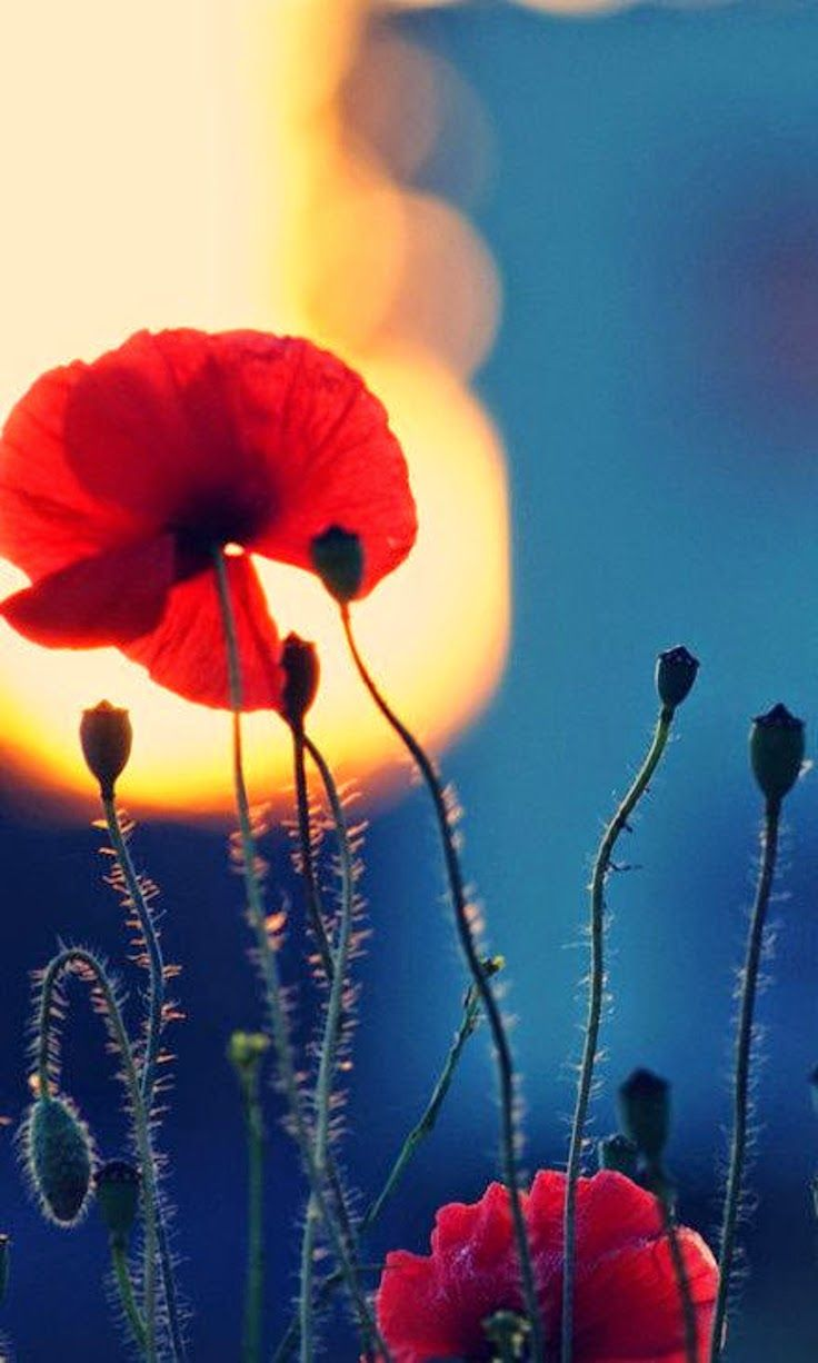 The Illuminator - Sketch - Flora - Poppies