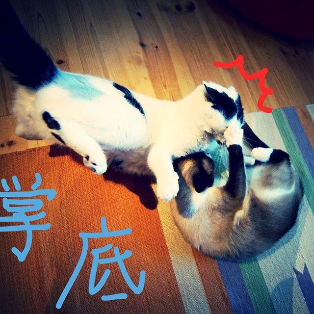 あんこ流 猫拳! ジャッキーチェンの蛇拳の映画では結局猫拳が最強という。さすが香港映画。酔拳は知ってても蛇拳を知らない私はまだまだジャッキーを語る資格なし。 #pet#cats#neko#ilovecat#にゃんこ#ネコラ部#モフモフ#保護猫#愛猫#love#lovely#cute#funny#meow#instacat#変顔#顔芸#kawaii#白黒猫#なんちゃってシャム#鍵しっぽ#sippo#猫写真#猫拳#掌底#