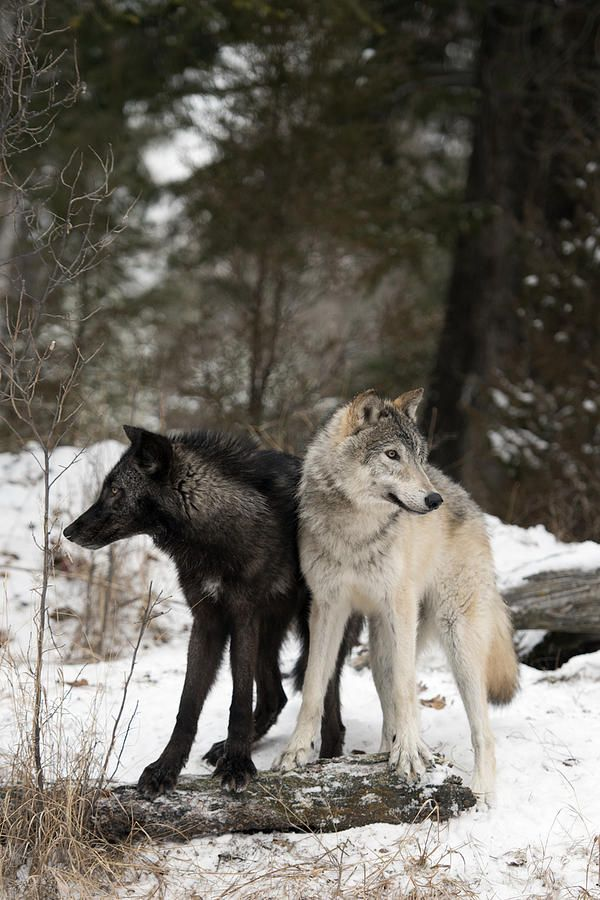 Two wolves standing side by side for one another.